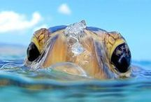 Turtles / turtles who roam the ocean and land