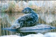 Critically endangered Saimaa Ringed Seal / The Saimaa ringed seal is one of the world 's rarest seal, and does not exist anywhere else than in Finland Saimaa waterways. The Saimaa ringed seal is critically endangered and in need of protection.   https://en.wikipedia.org/wiki/Saimaa_ringed_seal