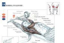 Muscle groups - lihasryhmät