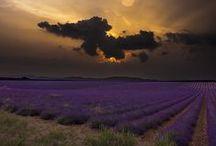 lavendel/lavender / Omdat het zoo lekker ruikt !!