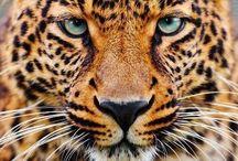 God's Lions, Tigers, Big Cats