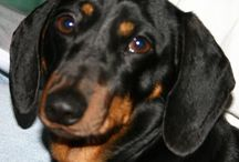 Puddles - Our First Dachshund / In memory of puddles, our sausage dog of 15 years