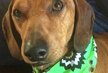 Gunter, Our Adopted Daschund / Our first dachshund we fostered from Oct 2015 aka Zigi, Zebi and Alan