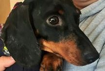 Lacey, Our Adopted Daschie