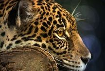 Big Cats-Most Beautiful Creatures on this Planet / by Shirley Zuroff