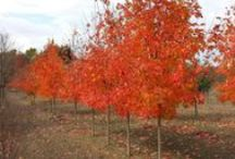 Maple / Acer