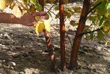 Birch / Betula