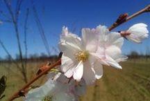 Prunus/Plum, Cherry