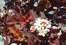 Ninebark / Physocarpus