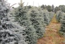 Spruce / Picea