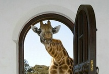 Animals - Giraffes / For Diane and Dan, the giraffe fans in my life