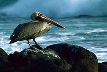 Animals - Pelicans