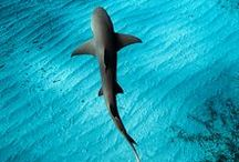// SHARK