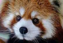Red Pandas and Otters / by Margaret Buechel