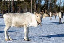 Reindeer in Lapland / Reindeer is the symbol of Lapland and the biggest helper of Santa Claus