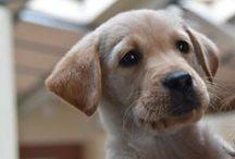 Adopteer een pup / Help jij een pup geleidehond te worden? Voor €7,50 per maand sponsor je de opvoeding en opleiding van pup tot geleidehond. Als adoptieouder krijg je dan toegang tot het puppydagboek en leef jij mee met alle avonturen van jouw pup. In dit bord foto's van de pups die je kunt adopteren op adopteereenpup.nl.