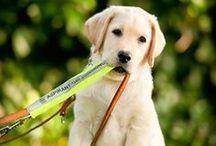 Puppypleeggezinnen / De puppypleeggezinnen zijn onmisbaar voor ons werk. Zij   laten ze kennismaken met de wereld om zich heen en leren ze een aantal basis commando's. Zo zijn de aspirant-geleidehonden er helemaal klaar voor als ze aan hun opleiding beginnen!