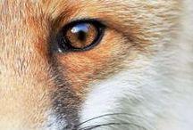 Fox Stuff