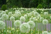 Alliums / Wat ik mooi vind