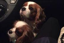 Charlie e Jolie - I due pelosi / I miei meravigliosi Cavalier King Charles Spaniel