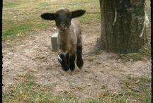 cigaja.blogspot.com / blog o ovečkách, předení a pletení