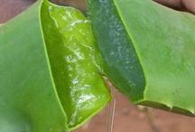 L'aloe vera / Une plante aux mille vertues