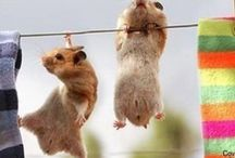 Hamsters / Pictures of Hamsters