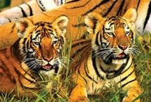 Tigers / Pictures of Tigers