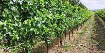 Wein & Qualität | Wine & Quality / Themen u.A.: Sind Bio-Weine besser und welche Pestizidbelastungen sind bekannt? **** Mehr Informationen auf unserem Blog: www.wein-und-olivenoel-finden.de