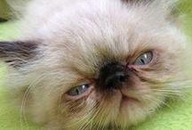 my cat (himalayan cat)