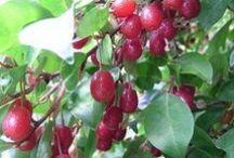 сад плодовые и ягодные  декоративные , уход