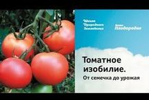 огород томат