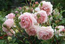 сад цветы розы