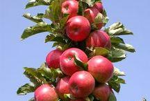 сад плодовые яблоня