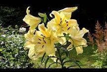 сад цветы лилии