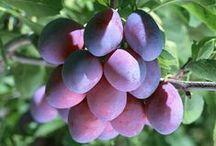 сад плодовые сливы