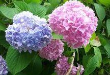 сад цветы гортензия