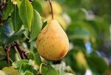 сад плодовые груша