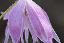 сад цветы клематис