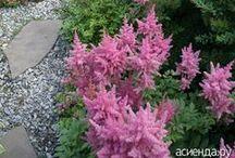 сад цветы астильба