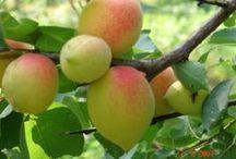 сад плодовые абрикос персик