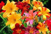 сад цветы лилейники