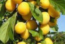 сад плодовые алыча