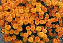 сад цветы хризантема