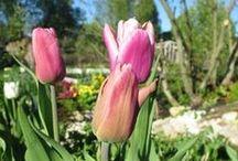 сад цветы тюльпаны
