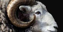 f a u n a. / I love sheeps and goats a lot, not even sorry
