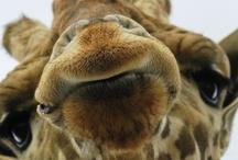 Zoo & Tierpark / zoo / Packe auf www.bagtion.de eine Giraffe in deinen Koffer um an deinem perfekten Reiseziel bzw. bei deinem perfekten Hotel ein Zoo oder Tierpark besuchen zu können. /// Pack on www.bagtion.com a giraffe into your suitcase to visit a zoo at your perfect travel destination or at your perfect hotel. / by BAGTION! Spielend verreisen.
