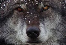 W O L V E S / Love and Peace for all Wolves
