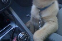 Golden retriever lovers / Doggy!!!