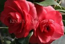 Shrubs - Camellias